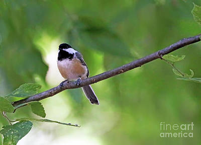 Photograph - Black-capped Chickadee by Elizabeth Winter