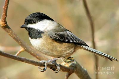Photograph - Black-capped Chickadee by Frank Townsley