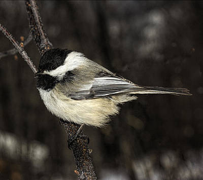 Photograph - Black-capped Chickadee by Fred Denner
