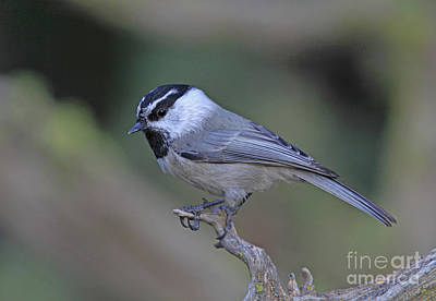 Black Photograph - Black-capped Chickadee by Gary Wing