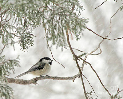Photograph - Black-capped Chickadee  In A Snow Storm  by Paula Guttilla