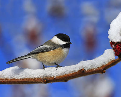 Black-capped Chickadee In Sumac Art Print