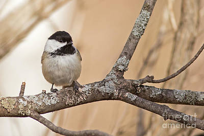 Photograph - Black Capped Chickadee In Tree by Natural Focal Point Photography