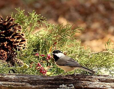 Photograph - Black-capped Chickadee In Winter by Sheila Brown