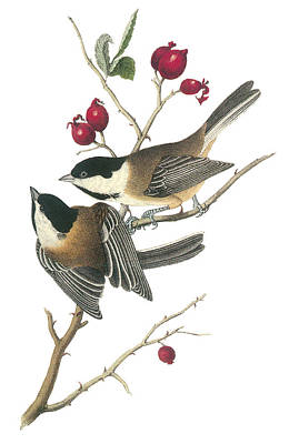 Black-capped Chickadee Print by John James Audubon