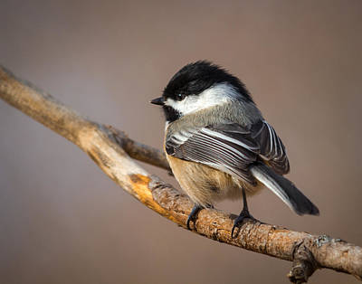 Photograph - Black-capped Chickadee by Kimberly Kotzian