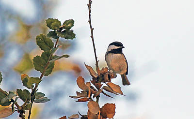 Photograph - Black Capped Chickadee by Mercedes Martishius