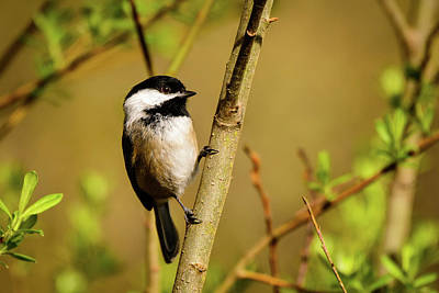 Photograph - Black-capped Chickadee by Michael McAuliffe