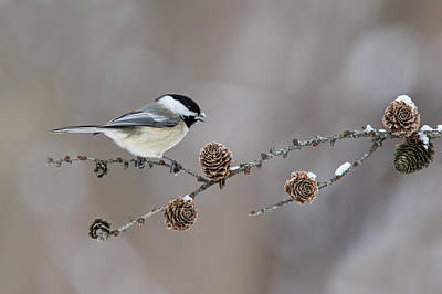 Art Print featuring the photograph Black-capped Chickadee by Mircea Costina Photography