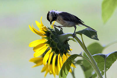 Photograph - Black-capped Chickadee On Sunflower by Sheila Brown