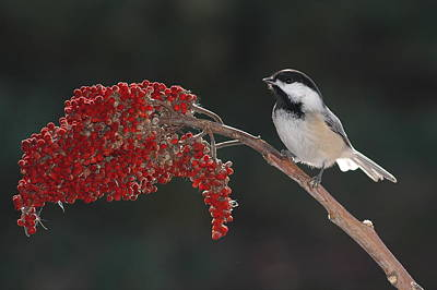 Black-capped Chickadee Art Print by Raju Alagawadi