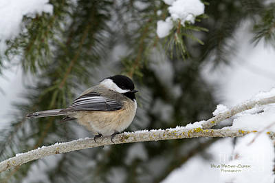 Beve Brown-clark Photograph - Black-capped Chickadee by Beve Brown-Clark Photography