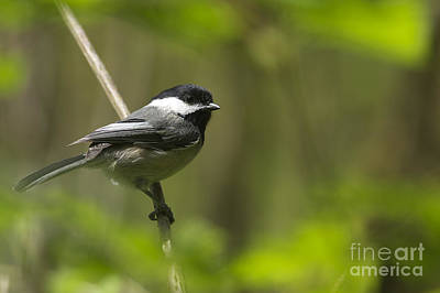 Photograph - Black-capped Chickadee by Sharon Talson