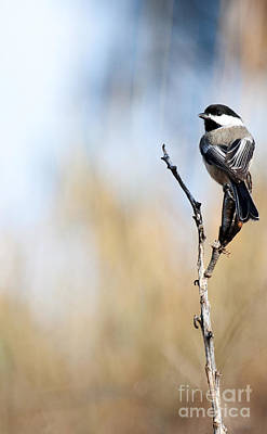 Photograph - Black-capped Chickadee by Shevin Childers