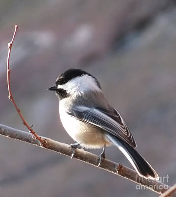Photograph - Black Capped Chickadee by Steven Parker
