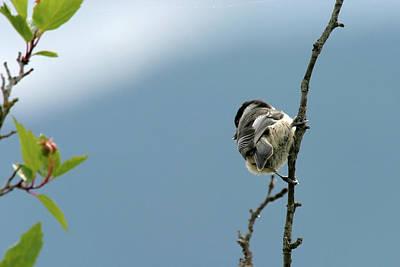 Photograph - Black-capped Chickadee, Usk, Washington, Usa by Robert Mutch