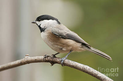 Photograph - Black Capped Chikide by David Waldrop