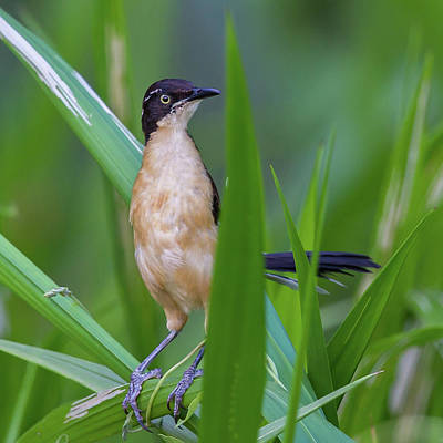 Photograph - Black-capped Donacobius by Jean-Luc Baron