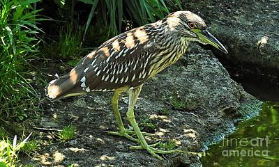 Photograph -  Black Capped Night Heron   Juvenile by Elaine Manley