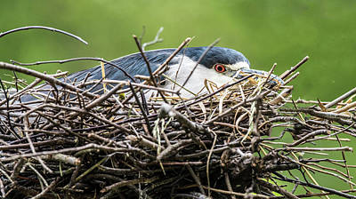 Photograph - Black-capped Night Heron On Her Nest by William Bitman