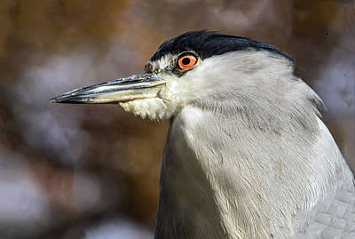 Photograph - Black-capped Night Heron Profile by William Bitman