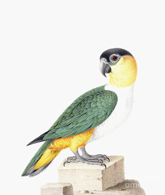 Parrot Drawing - Black Capped Parrot by Nicolas Robert
