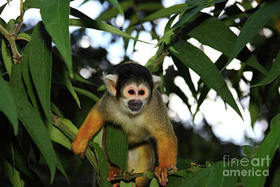 Black-capped Squirrel Monkey Saimiri Boliviensis Art Print by James Brunker