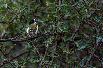 Photograph - Black-capped Vireo - Endangered  Bird by Debra Martz