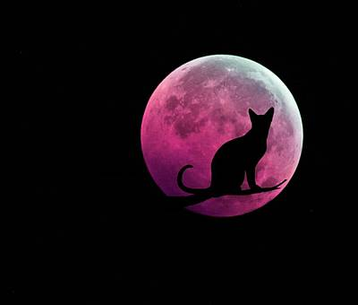 Shower Curtain Digital Art - Black Cat And Pink Full Moon by Marianna Mills