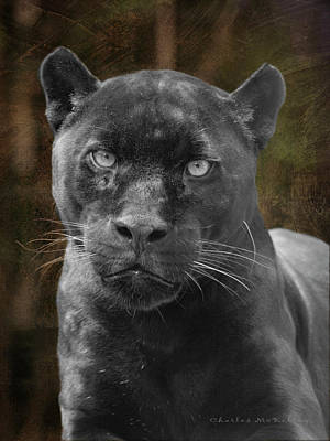 Photograph - Black Cat by Charles McKelroy