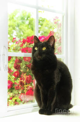 Photograph - Black Cat In White Frames by Sari ONeal