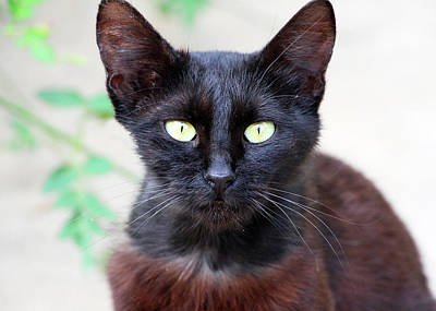 Photograph - Black Cat by Munir Alawi
