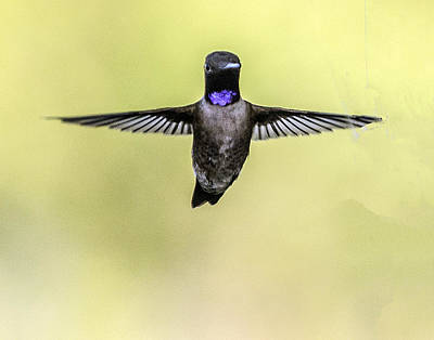 Photograph - Black-chinned Hummingbird Flying Toward Camera by William Bitman