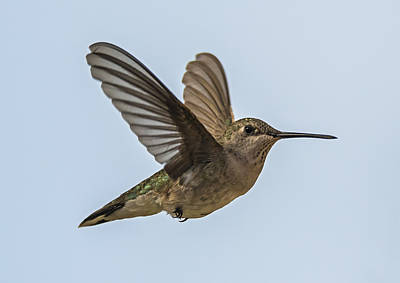 Photograph - Black-chinned Hummingbird In Flight by Loree Johnson