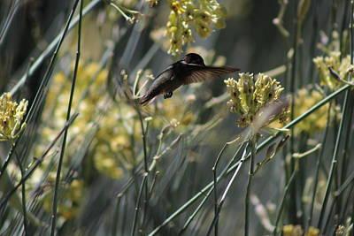 Black Chinned Hummingbird In Garden Art Print by Colleen Cornelius