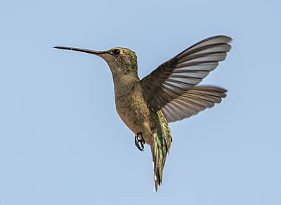 Photograph - Black-chinned Hummingbird In The Sun by Loree Johnson