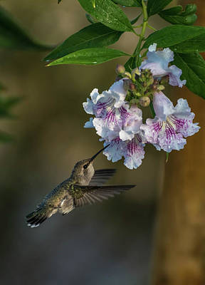 Photograph - Black-chinned Hummingbird by Martina Thompson