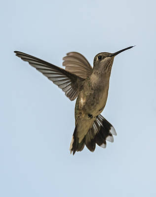 Photograph - Black-chinned Hummingbird Portrait by Loree Johnson
