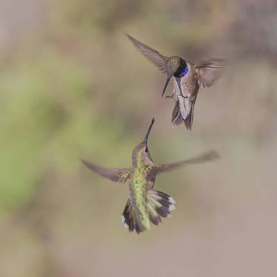 Black-chinned Hummingbirds Art Print
