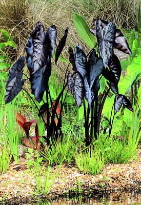 Photograph - Black Coleus by Rosalie Scanlon