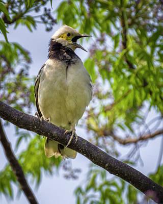 Photograph - Black Collared Starling Mai Po Hong Kong China by Adam Rainoff