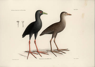 Drawing - Black Crake, Zapornia Flavirostra by J D L Franz Wagner