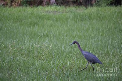 Photograph - Black Crane by Michael Rados