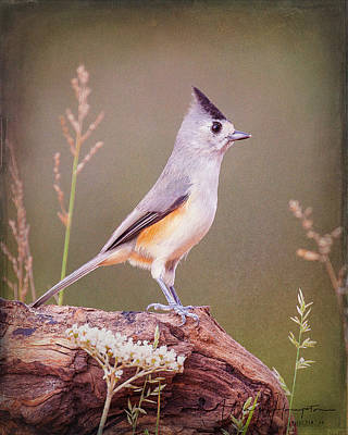 Photograph - Black-crested Titmouse - 6263,st by Wally Hampton