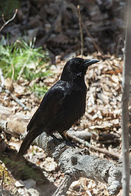 Photograph - Black Crow In The Forest by John Haldane