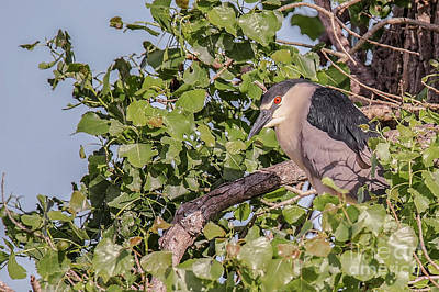 Nikki Vig Royalty-Free and Rights-Managed Images - Black Crown Night Heron in Tree by Nikki Vig