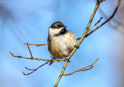 Photograph - Black Crowned Chickadee In The Sunlight On A Branch by Patrick Wolf