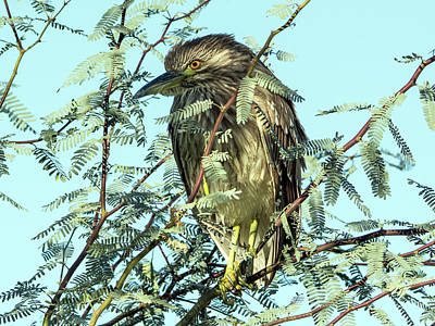 Photograph - Black-crowned Night Heron 0063-111017-1cr by Tam Ryan