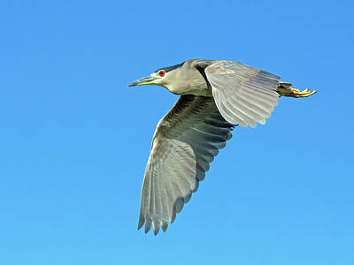Photograph - Black-crowned Night Heron 1171-051518-1cr by Tam Ryan