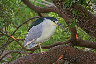 Photograph - Black-crowned Night Heron 2 by HH Photography of Florida
